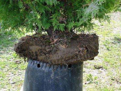Les c dres sp productions p riode de plantation et commercialisation du c dre - Plantation arbre en motte ...